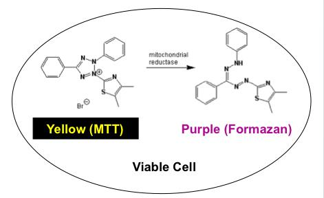MTT assay reaction